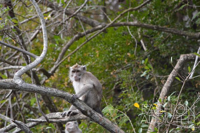 Mauritius Monkeys
