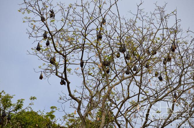 Mauritius Bats